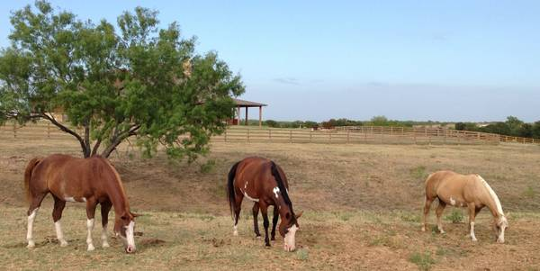 Several AQHA  amp  APHA mares and 2014 foals  for sale
