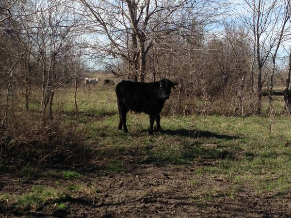 Angus Replacement Heifers -   x0024 975  Hubbard  Tx