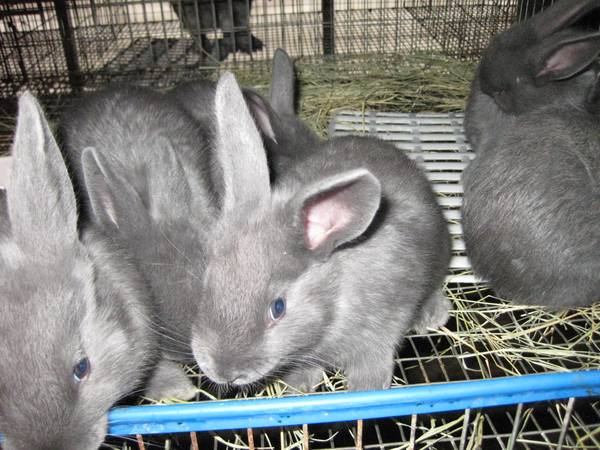Pedigreed American Blue Rabbits -   x0024 40  Dayton