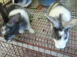 baby bunnies - $20 (coldspring tx)
