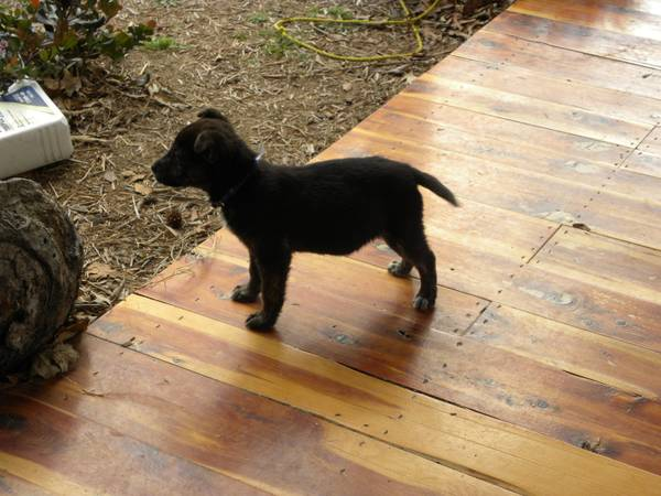 Free to good home-Male mix breed puppy  Canton