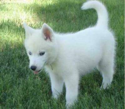 awesome white husky baby for free adoption