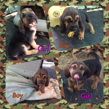 6 Week Old AKC Bloodhounds  Tyler   Tx