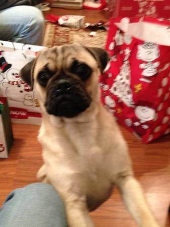 Stolen Family Member  Baby Arnold almost 1yr Male PUG      Deep East Texas