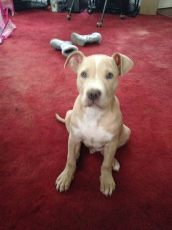 Lost pitbull puppy  Lufkin  Texas