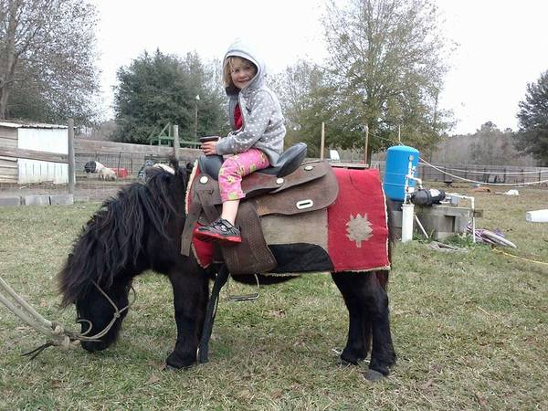 For sell or trade  Male mini horse  Very well behaved   -   x0024 1  bush