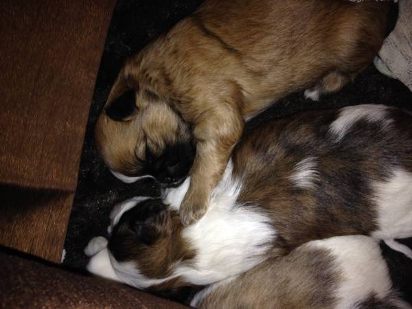 2 male puppies - $250 (Metairie, La)