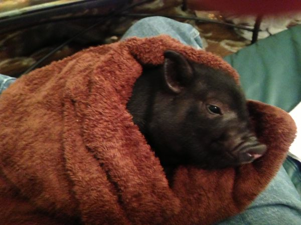 Baby Pot Belly Pigs - $100 (FQ Treme area)
