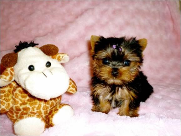 250  Yorkie Puppies Available text or call 660 236-8446