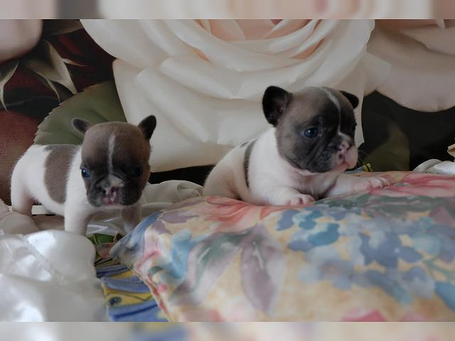 350  beautiful Male and Female french bulldog puppies  text or call 805 295 8413