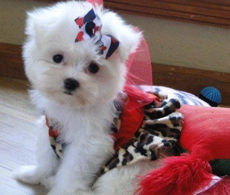 400  brave maltese puppies available