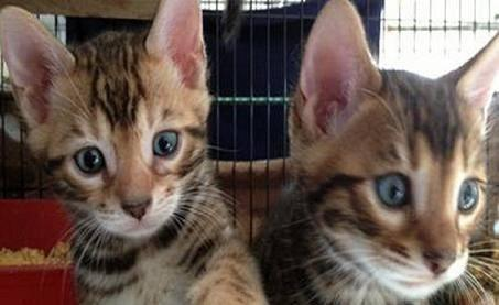 Bengal kittens available for new home