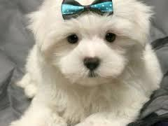 Best Quality Teacup Maltese Puppies Text 779 206-7226
