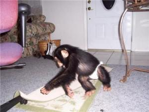 Healthy chimpanzee available to loving homes