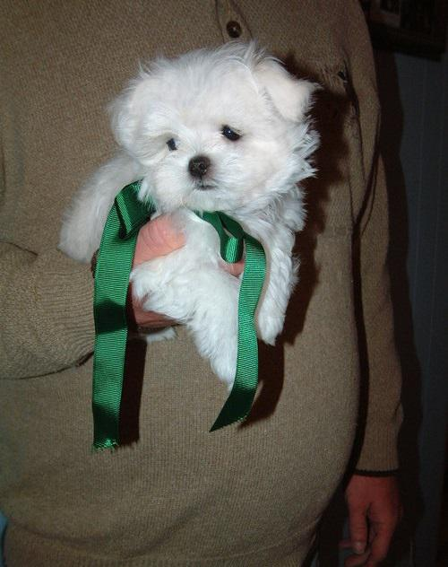 TinyCute Maltese Puppies For Adoption617 313-3657