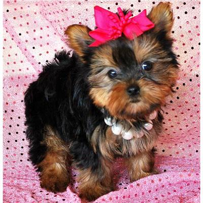 adorable yorkie puppies available for new homes