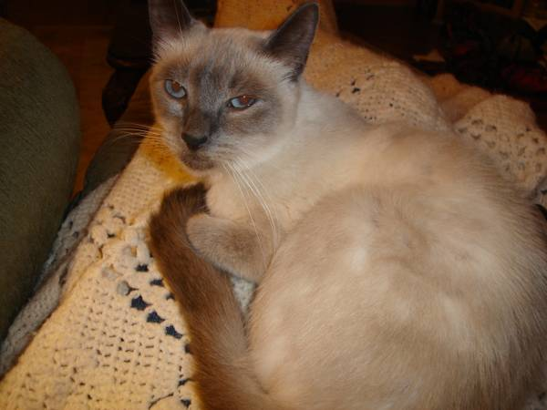 REWARD FOR LOST SIAMESE  old metairie