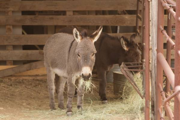 Mini Sicilian Donkeys For Sale -   x0024 400  Brownwood