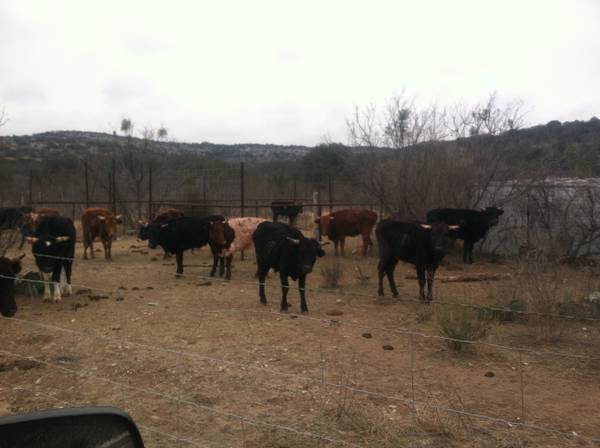 Good Corriente Roping Cattle for lease - x002440 (Ozona)