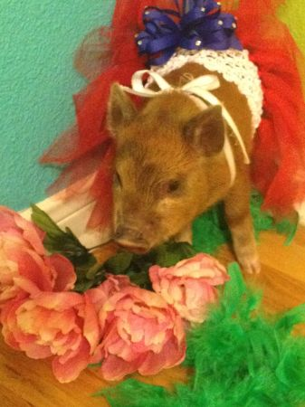 Baby Pet Piglets - Colorful - $400 (BastropAustin)