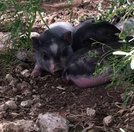 Baby Pot Belly Pigs - $100 (Christoval)