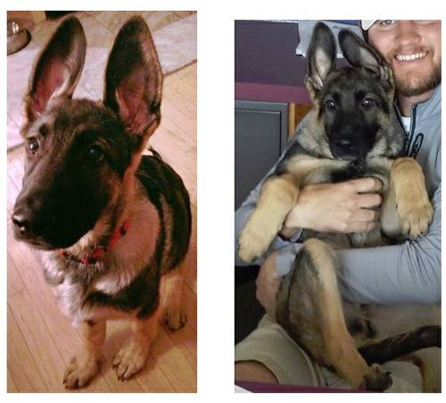 MISSING DOG  4 month-old Male German Shepherd
