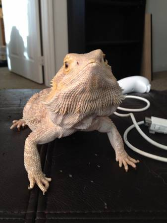 Male Bearded Dragon  San Angelo