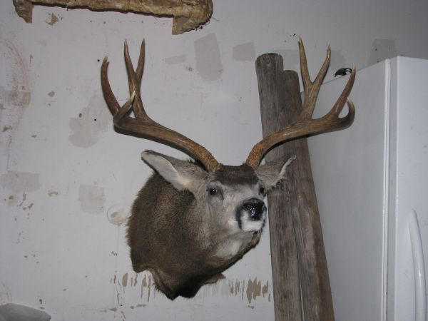 Taxidermy deer (houston)