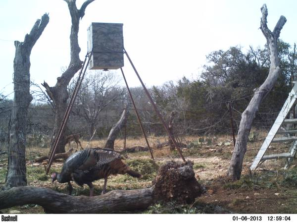 Turkey Hunts  Comfort  TX