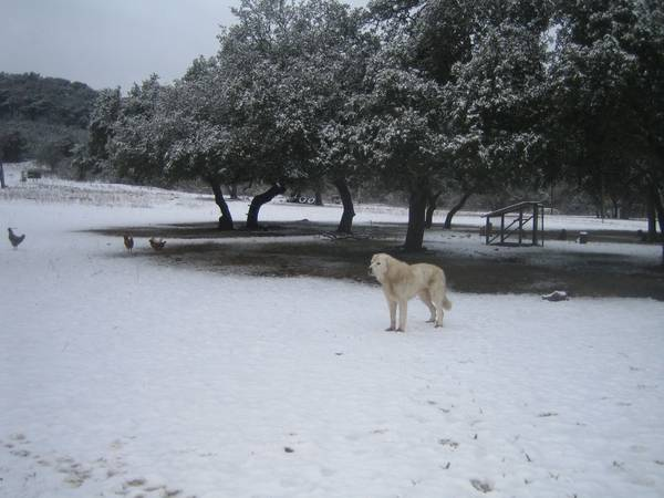 Livestock Guardian Dog-Good RanchFarm Dog - $100 (KerrvilleSAHill Country)