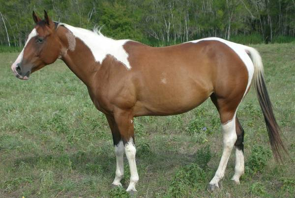 SONG OF PAMELA - 2007 APHA Bay Tobiano Mare - Tri-Colored - $1000 (Karnes City, Texas)