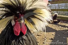 Polish Crested (Top Hat) chickens Lk---gtgtgt - $12 (Harper)