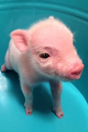 Super Micro Pet Piglets - $550