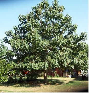The Fastest Growing Shade Trees (SW San Antonio)