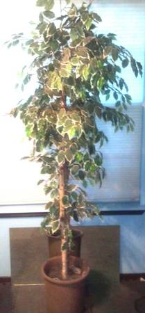 Faux Ficus Tree - $25 (San Antonio)
