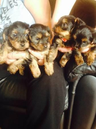 400  Charming T-Cup Yorkie Puppies     TEXT 470 328-5277