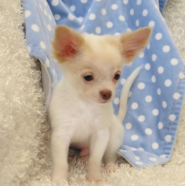 0 Affectionate Chihuahuas puppies Ready Call 720 889-6974