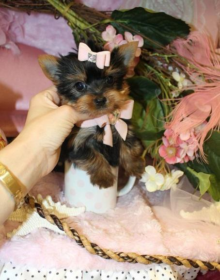 250  Lovely T-cup Yorkie Female For RE-HOMING TEXT OR CALL 267 450-4196