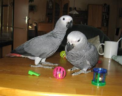 300  Great African congo Grey Parrots  681-256-0965
