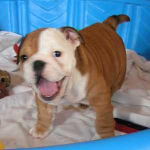 Adorable English bull dog puppies