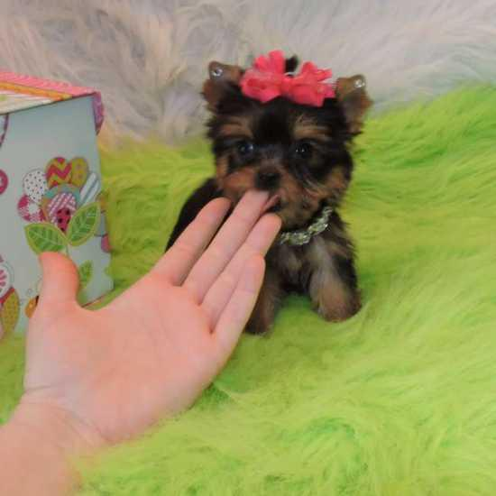 Free Outstanding Teacup Yorkie puppies