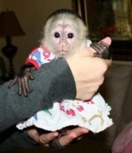 Good Looking  Healthy and Gorgeous monkeys wanting a home 267 281- 4166