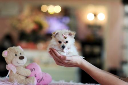 Healthy Pomeranian Puppies For New Homes