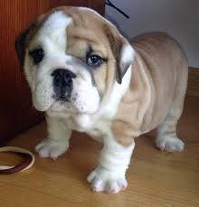 Lovely English Bulldog puppies available   Text717 547-0381