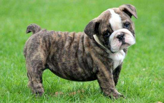 Nice English Bulldog Puppies Looking For Free Home