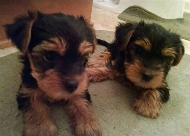 Teacup and Toy size Yorkie Puppies  Yorkshire Terrier