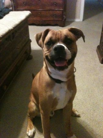 Boxer Pit Lab mix 1year old (NEW BRAUNFELS)