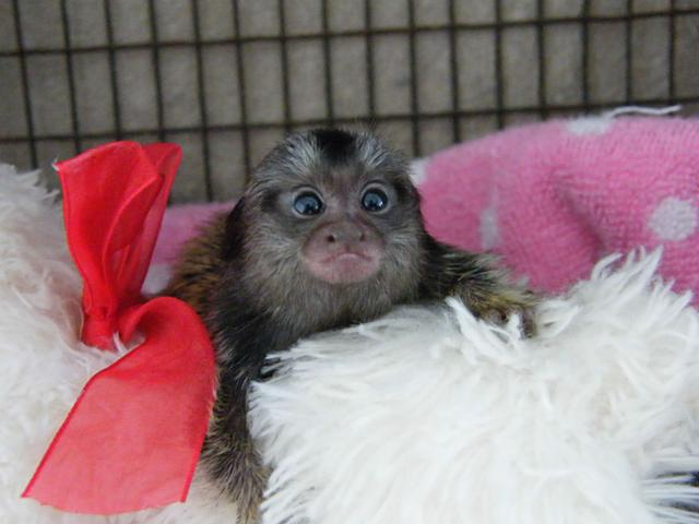 Home Raised Marmoset M O N K E Y S-