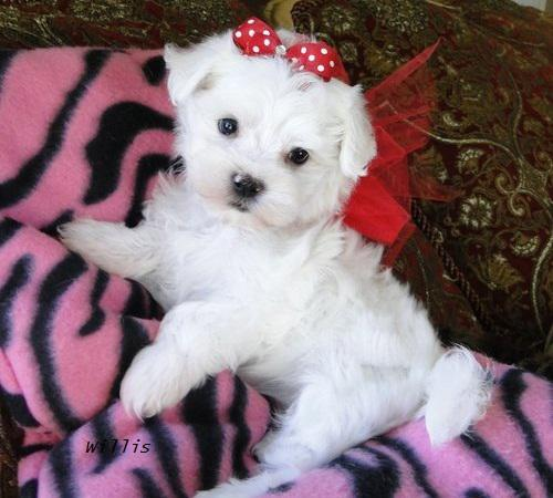 Teacup Maltese Puppies 617 313-3657