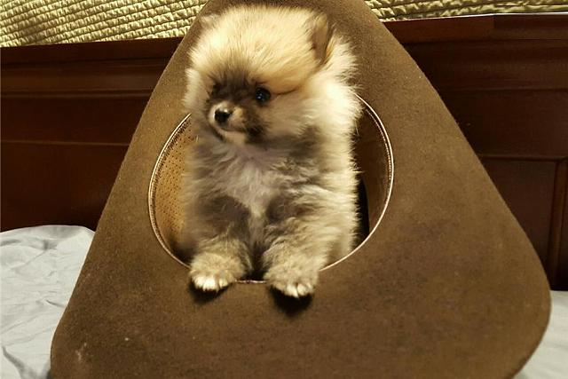 Adorable Housebroken Tan Teacup Pomeranian Available For Your Home803274-1874